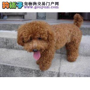 纯种巨贵茶杯体,小玩具贵宾犬,北京巨贵多少钱一只