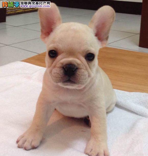 极品法国斗牛犬超级憨厚超级可爱的小萌宠快来带走