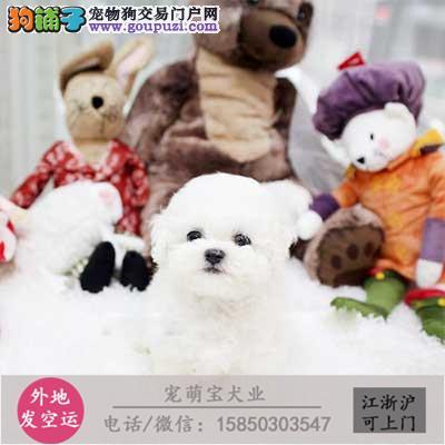 cku认证犬舍出售高品质 比熊幼犬签协议证件齐全