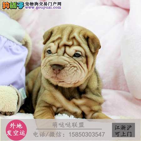 犬舍繁殖高品质 沙皮 幼犬 签协议可上门挑选