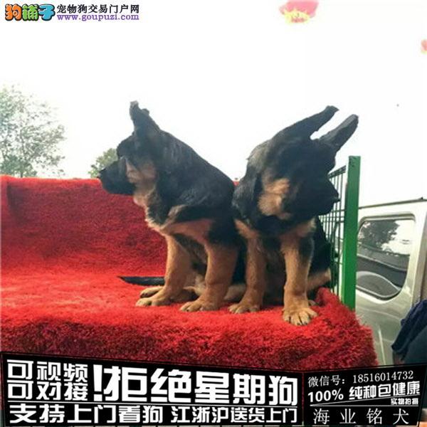 犬舍繁殖高品质 德牧 幼犬 签协议可上门挑选