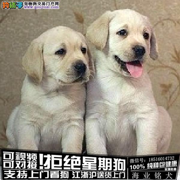 犬舍繁殖高品质 拉布拉多 幼犬 签协议可上门挑选