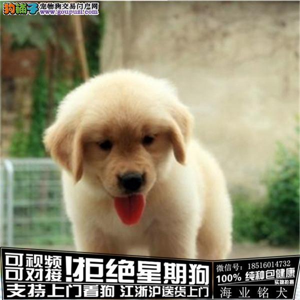 犬舍繁殖高品质 金毛 幼犬 签协议可上门挑选