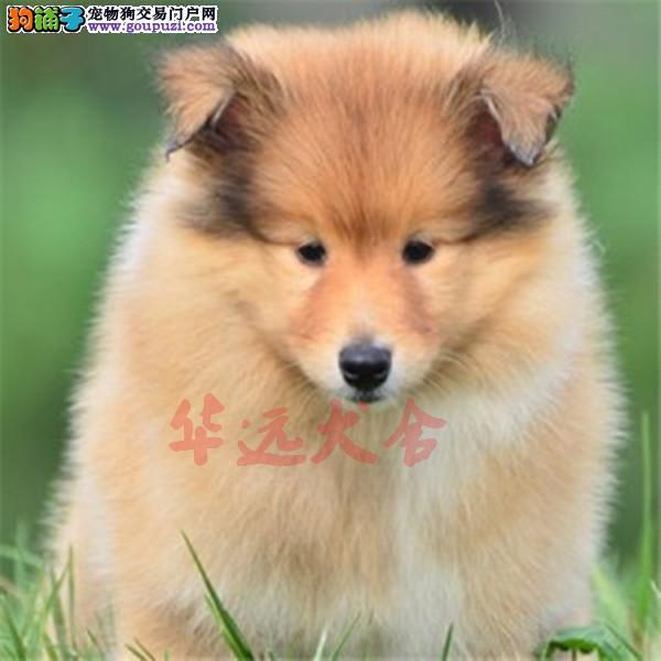 北京最大苏牧犬繁殖基地、品质保障、可全国托运
