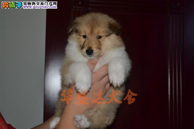 高品质苏牧幼犬出售了 保纯种 健康 可签协议