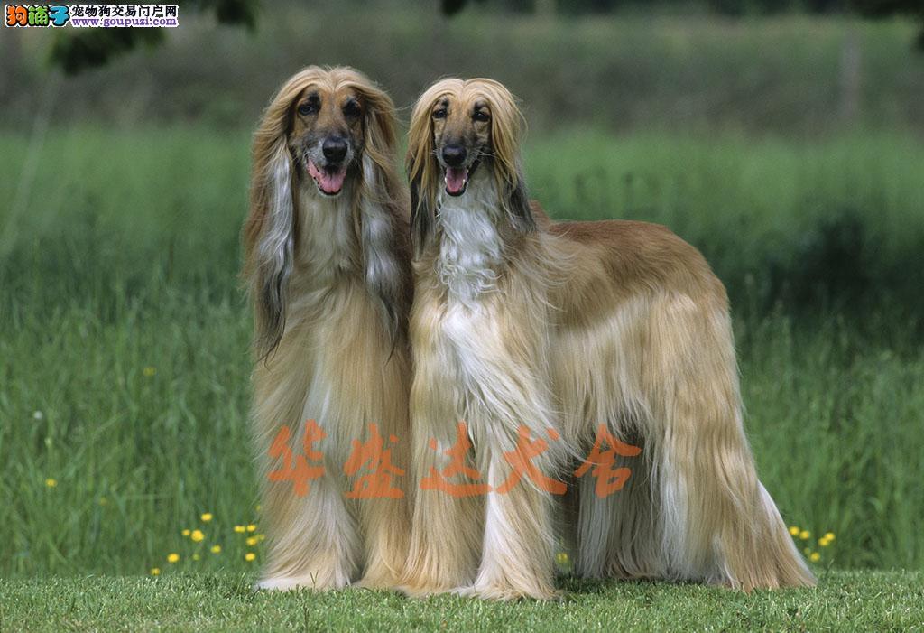 高品质阿富汗幼犬出售了 保纯种 健康 可签协议