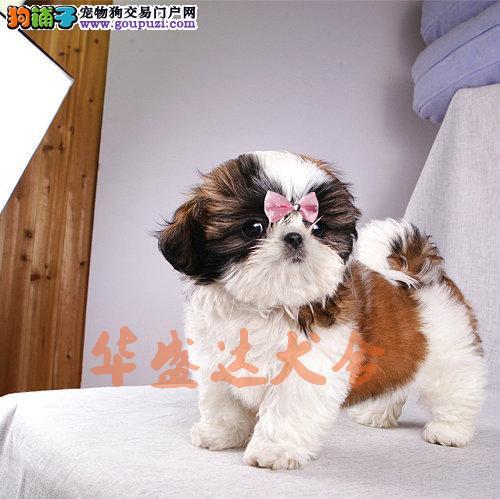高品质西施幼犬出售了 保纯种 健康 可签协议