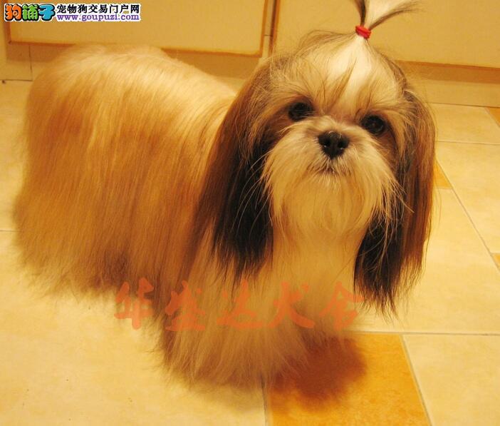 顶级西施幼犬 保纯种健康 CKU认证犬舍