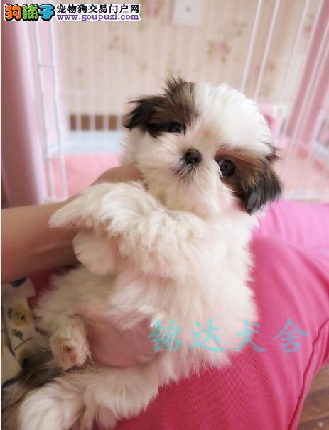 权威机构认证犬舍、专业西施犬繁殖 完美售后