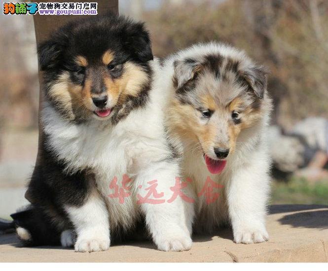 权威机构认证犬舍、专业苏牧犬繁殖 完美售后