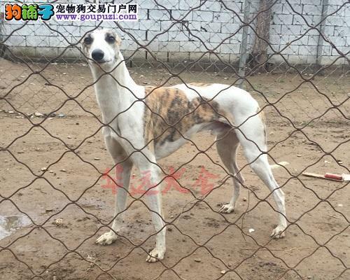 权威机构认证犬舍、专业格力犬繁殖 完美售后