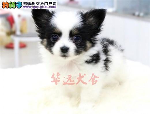 权威机构认证犬舍、专业蝴蝶犬繁殖 完美售后