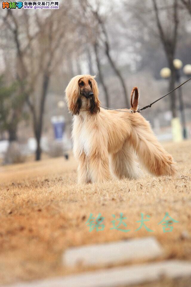 上海最大阿富汗犬繁殖基地、品质保障、可全国托运
