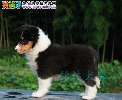 北京最大喜乐蒂犬繁殖基地、品质保障、可全国托运