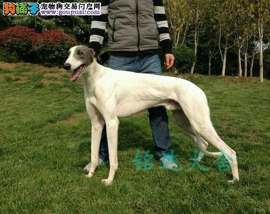 武汉最大格力犬繁殖基地、品质保障、可全国托运