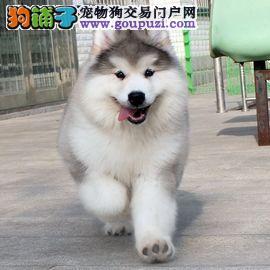 巨型纯种阿拉斯加犬,十字脸桃脸纯种阿拉