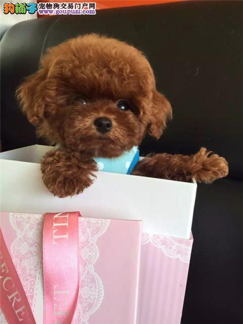 纯种健康茶杯泰迪狗狗微小玩具贵宾泰迪熊幼犬
