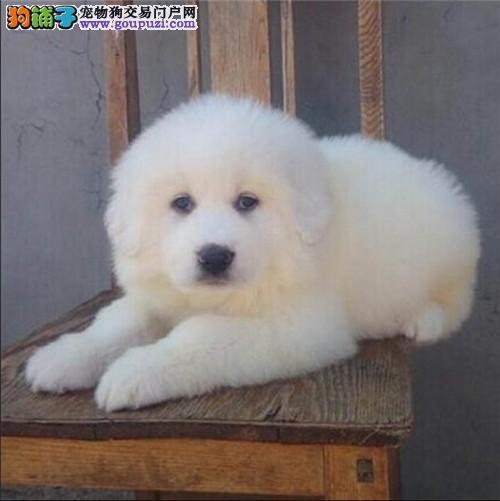 活体幼犬狩猎犬大白熊狗 超大型宠物狗狗幼犬出售