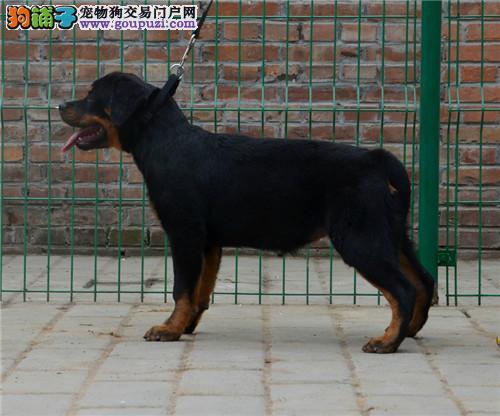 出售纯种赛级罗威纳幼犬 罗威纳幼犬活体护卫犬罗威纳