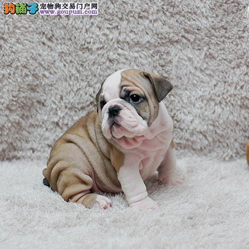 出售宠物狗狗纯种英国斗牛犬幼犬赛级斗牛犬活体