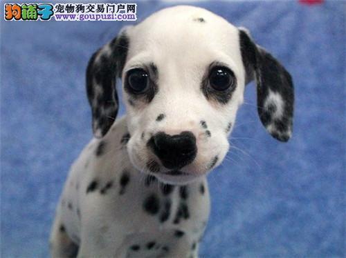 出售纯种健康 斑点狗 可办血统证+芯片 健康保证