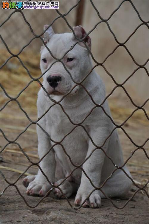 纯种杜高犬幼犬狩猎犬猛犬护卫犬大型犬活体白色宠物