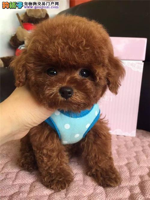 出售纯种活体泰迪贵宾幼犬长不大茶杯玩具迷你犬