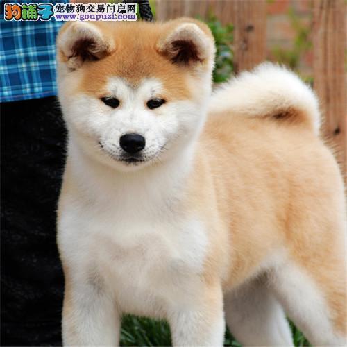 宠物狗赛级纯种活体狗幼犬热卖纯种秋田犬活体宠物狗