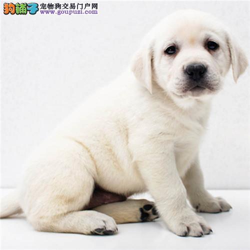 宠物活体直销出售纯种血统拉布拉多幼犬 家养导盲犬