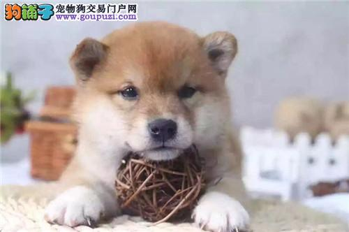 活体 纯种 日本柴犬 幼犬小体 公母均有