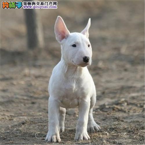 牛头梗犬 白色牛头梗幼犬出售 活体宠物狗双血统牛头梗