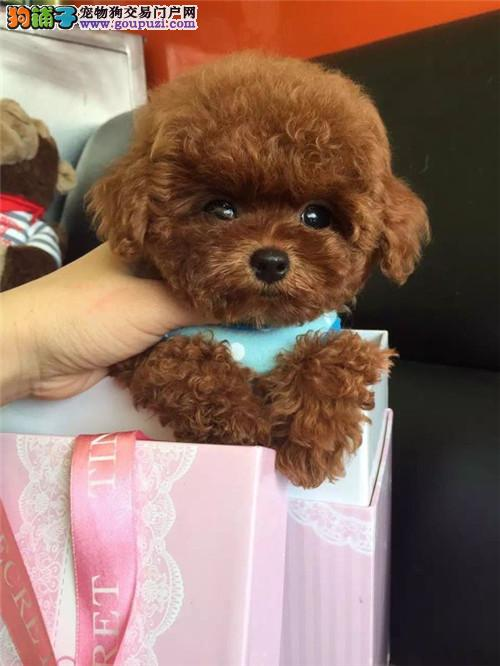 纯种泰迪犬 袖珍迷你茶杯犬 长不大泰迪幼犬出售