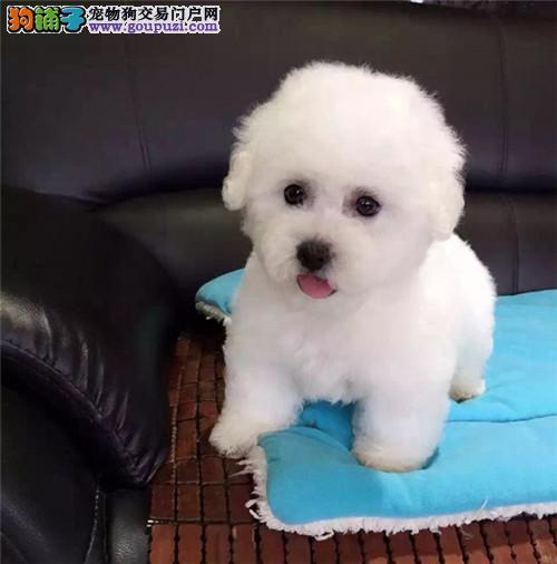 出售纯种法国卷毛小体袖珍茶杯纯种比熊犬宠物狗