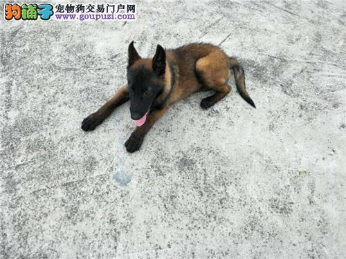 纯种马犬 宠物狗幼犬 比利时牧羊犬纯种活体马犬