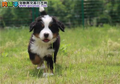 伯恩山幼犬活体 宠物狗伯恩山犬纯种公母都有