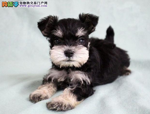 广州哪里有纯种雪纳瑞 广州雪纳瑞幼犬怎么卖
