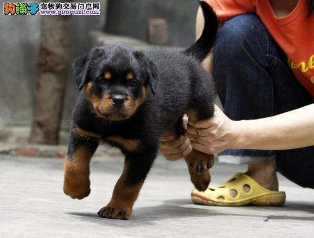 广州纯种罗威纳一只多少钱 广州哪里有出售罗威纳幼犬