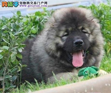 广州高加索小狗怎么卖 广州哪里有出售纯种高加索幼犬