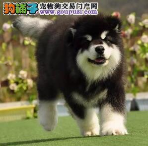 高品质健康 专业繁殖阿拉斯加幼犬