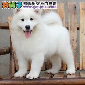 萨摩纯种健康的萨摩耶 犬舍直销萨摩