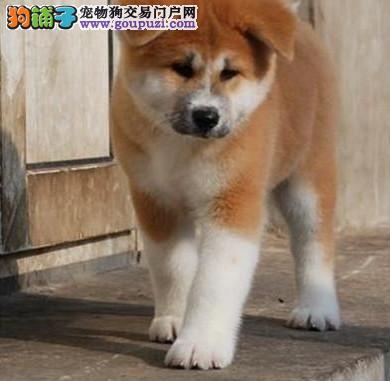 秋田犬开卖纯种健康有保障日本进口繁殖