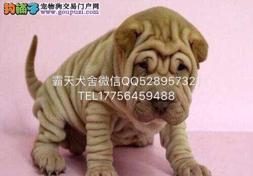 出售高品质沙皮狗幼犬 血统纯正 体型完美 CUK认证