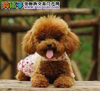 犬舍出售高品质泰迪带血统 终身质保 签订协议可送货