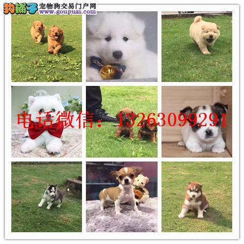 郑州犬舍出售柴犬 签协议疫苗出售 加微信上门有折扣