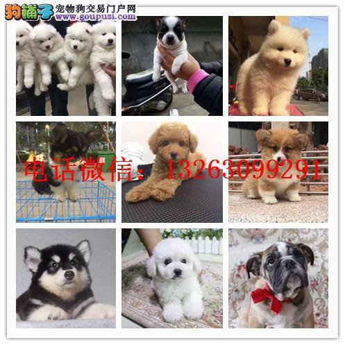郑州犬舍出售泰迪 签协议疫苗出售 加微信上门有折扣