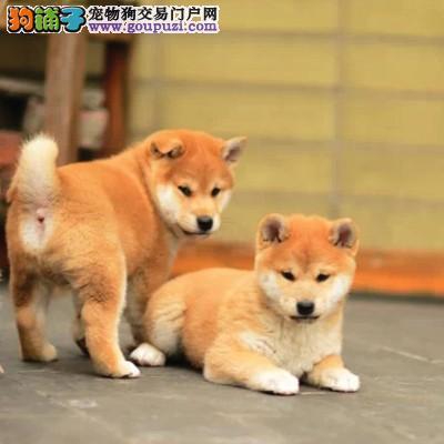 聪明小柴犬 出售,带血统,正规养殖犬舍繁育