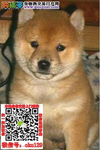 重庆渝中柴犬价格_重庆渝中柴犬多少钱一只