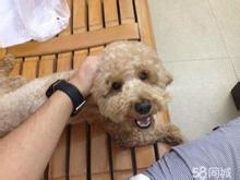 香槟色泰迪犬,三针全大,非诚勿扰,可以微信或者
