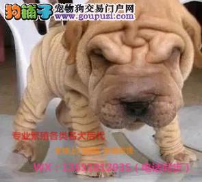 国际专业犬舍繁殖纯种沙皮带证书疫苗本