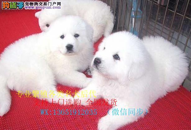 纯种大白熊犬 赛级血统 品相完美 品质保证